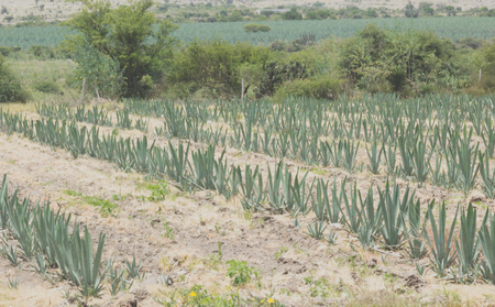 Photograph of a field with agave plants 版權商用圖片