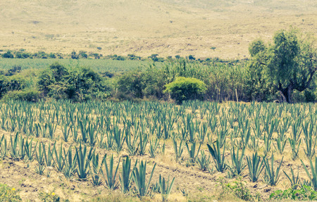 Photograph of a field with agave plants Stock Photo