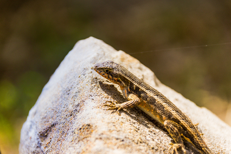 Photograph of a lizard on a rock outdoors