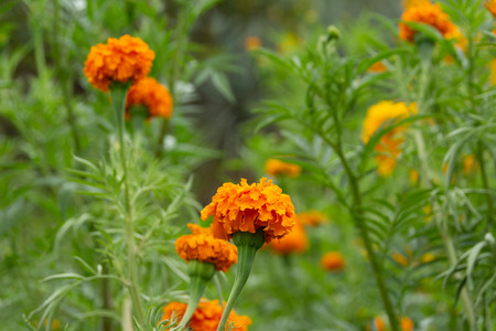Detail photograph of some traditional marigold cempasuchil mexican flowers