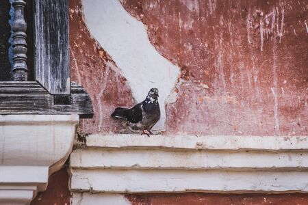 Photograph of a pigeon standing on a wall and red background