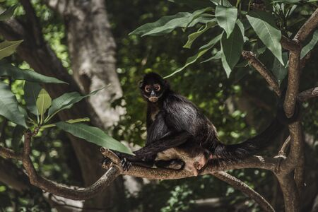 Photograph of a spider monkey in the jungle