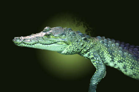 This picture shows a baby crocodile The backgound is green  photo