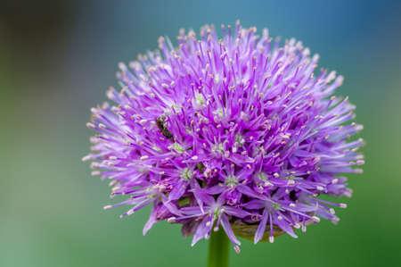allium: Allium ball close up with a bee