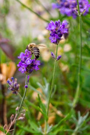 lavander: Bee at lavander close up in a flowerbed