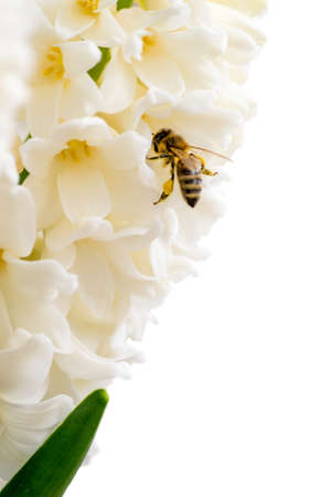 industrious: Isolated hyacinth with a bee