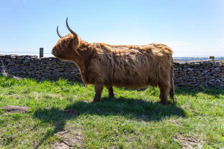 Highland Cattle, seen in the North York Moors near Levisham, North Yorkshire, UK