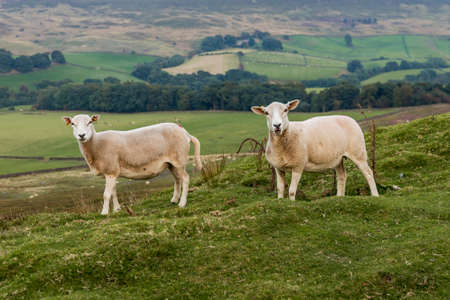 Two sheep in the North York Moors near Westerdale, North Yorkshire, UK