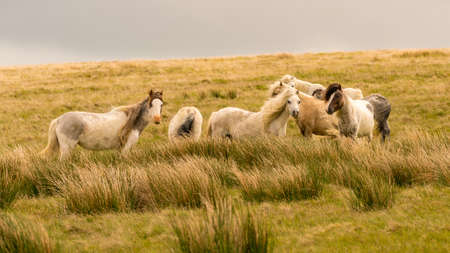 Wild horses on a grey and windy day near Foel Eryr, Clynderwen, Pembrokeshire, Dyfed, Wales, UK