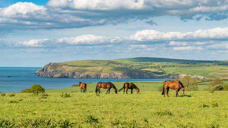 Horses at the cloudy Pembrokeshire coast, seen near Parrog, Dyfed, Wales, UK
