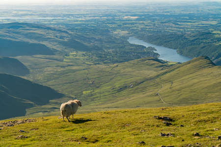 A sheep enjoying the view from Garnedd Ugain, Snowdonia, Gwynedd, Wales, UK - looking north towards Llyn Padarn and Llanberis Stock Photo
