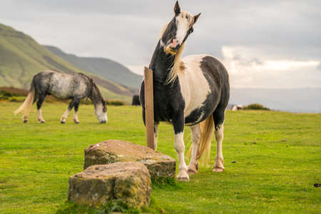 Wild horses near Hay Bluff and Twmpa in the Black Mountains, Brecon Beacons, Wales, UK