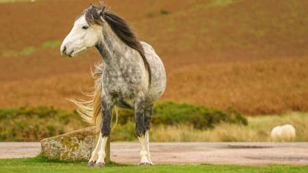 A wild horse near Hay Bluff and Twmpa in the Black Mountains, Brecon Beacons, Powys, Wales, UK Stock Photo