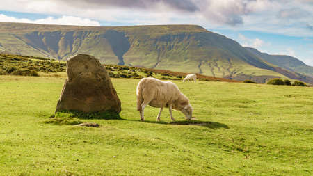 View over the landscape of the Brecon Beacons National Park with a sheep near the Stone circle and Twmpa, seen from Hay Bluff car park in the Black Mountains, Powys, Wales, UK Standard-Bild