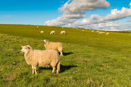 A flock of sheep on a meadow with some clouds Reklamní fotografie - 93472343
