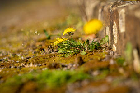 Buttercups growing in the gaps of a stone stair