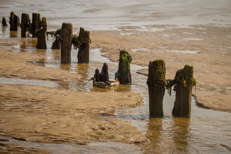 Wooden stakes and ducks on a beach, seen at Sandsend Beach near Whitby, North Yorkshire, UK