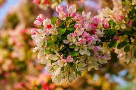 Apple blossom with blurry background, seen in Duisburg-Ruhrort, North Rhine-Westphalia, Germany