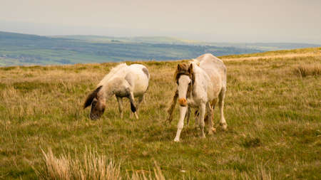 Wild horses on a grey and windy day near Foel Eryr, Clynderwen in Pembrokeshire, Dyfed, Wales, UK