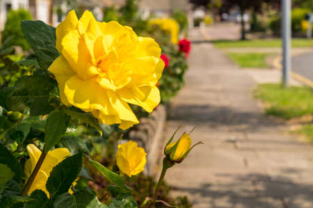 A yellow rose with a sidewalk in the background, seen in Walton-on-the-Naze, Essex, England, UK