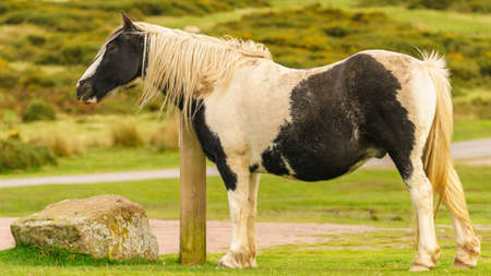 A wild horse grazing near Hay Bluff and Twmpa in the Black Mountains, Wales, UK Stock Photo