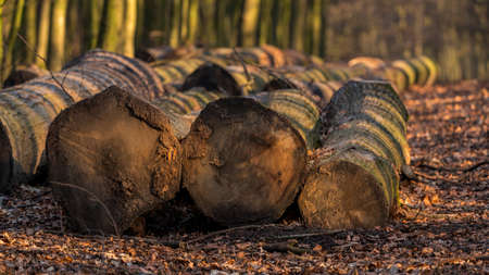 Felled tree trunks on the edge of a footpath in a winter forest, seen at Saarner Mark, Muelheim an der Ruhr, North Rhine-Westphalia, Germany