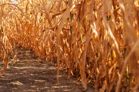 Duisburg, North Rhine-Westphalia, Germany - August 07, 2018: View at a dried out cornfield after a heatwave and weeks without rain