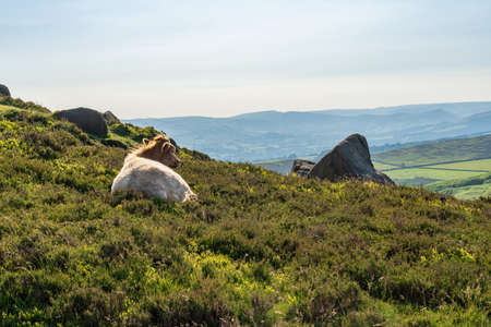 Cows on top of Higger Tor in the Peak District, South Yorkshire, England, UK Stock Photo