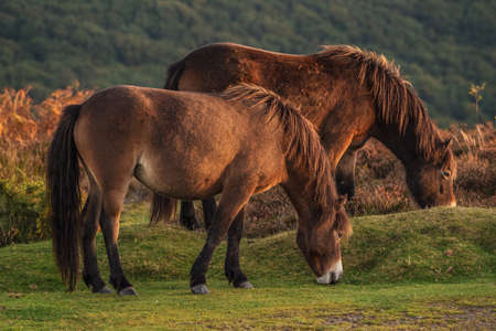 Wild Exmoor Ponies, seen on Porlock Hill in Somerset, England, UK Banque d'images