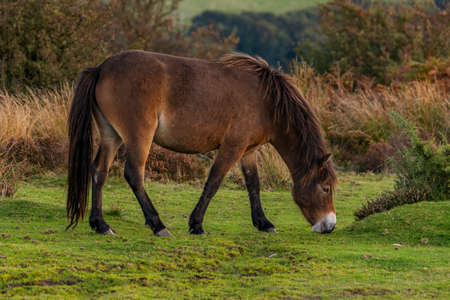 A wild Exmoor Pony, seen on Porlock Hill in Somerset, England, UK Stock Photo