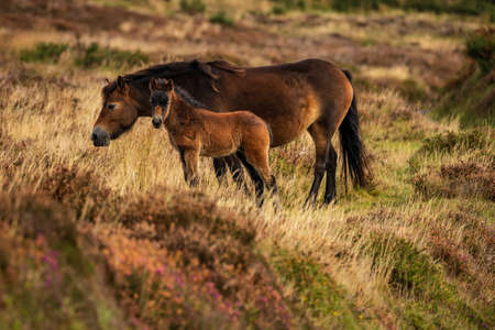 Wild Exmoor Ponies, seen on Porlock Hill in Somerset, England, UK Stock Photo