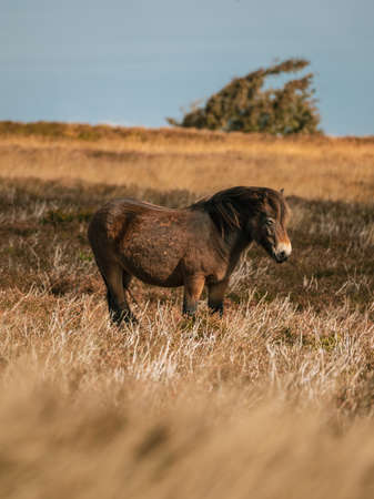 An Exmoor Pony, seen on Porlock Hill in Somerset, England, UK