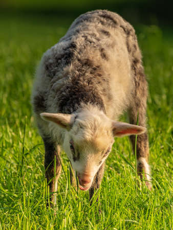A lamb on a meadow Stock Photo
