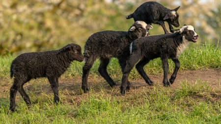 Lambs on a meadow Stock Photo