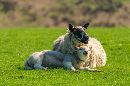 A lamb and a sheep in the grass