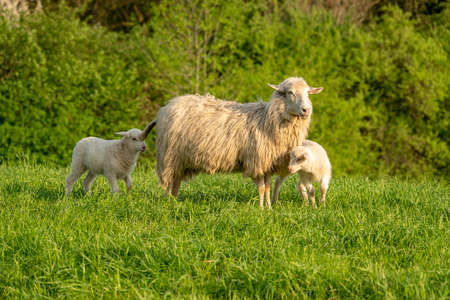 Two lambs and their mother in the grass