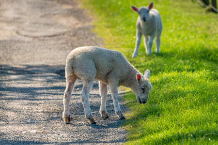 Two lambs grazing on the edge of a rural road