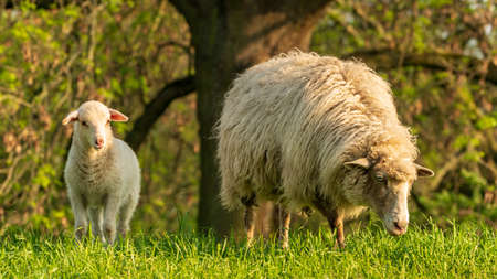 A lamb and a sheep on a meadow
