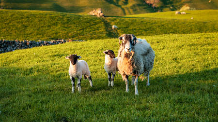 Sheep and lambs on a meadow near Keld, North Yorkshire, England, UK Фото со стока
