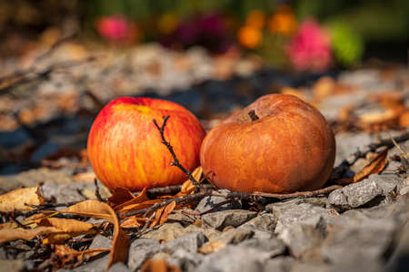 Fallen fruit: Two apples on the ground, one already started rotting