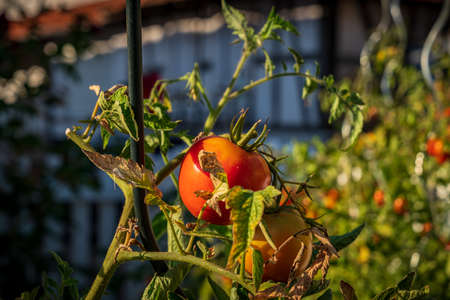 Vine tomatoes in the sunlight with blurry background