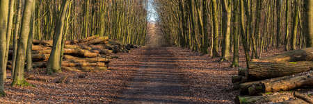 Footpath in a winter forest with stacks of felled trees on the side, seen at Saarner Mark, Muelheim an der Ruhr, North Rhine-Westphalia, Germany