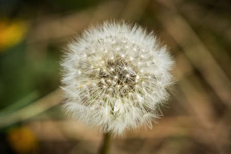 A dandelion with blurry background, seen in Askam-in-Furness, Cumbria, England, UK