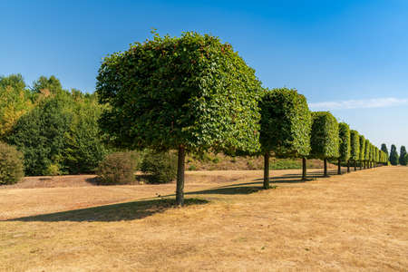 A row of pruned trees on a dried up meadow, seen in the Nordsternpark, Gelsenkirchen, North Rhine-Westfalia, Germany