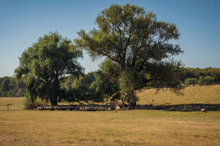 A flock of sheep hiding from the heat in the shadow of some trees, seen at the shore of the River Rhine in Duisburg, North Rhine-Westfalia, Germany