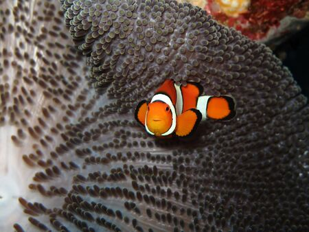 amphiprion ocellaris: Clown fish