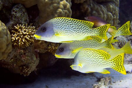 salt water fish: Shoal of sweetlips - picture taken in the red sea Stock Photo