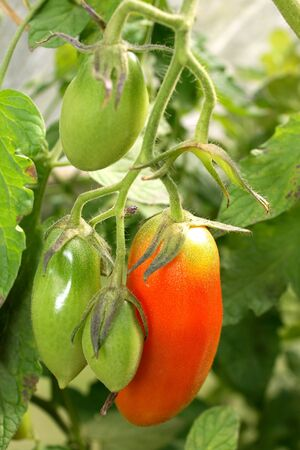 Home-grown vegetables - Red Tomatoes