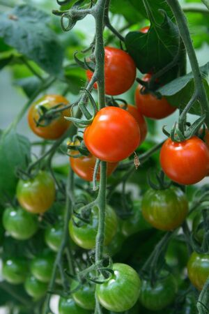 homegrown: Home-grown vegetables - Red Tomatoes