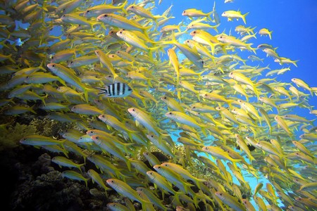 Shoal of yellow goatfish - picture taken in the red sea photo